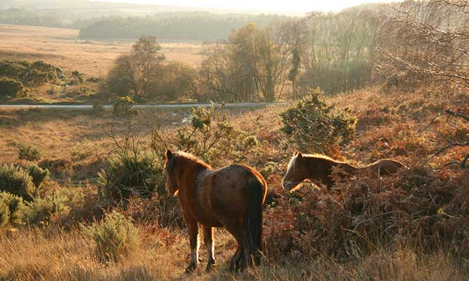 Ponies in the New Forest, Southampton